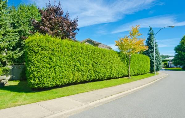 Формирование низкого и среднего зеленого забора